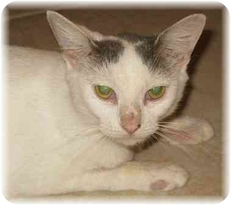 Domestic Shorthair Cat for adoption in Naples, Florida - Val