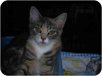 Domestic Shorthair Cat for adoption in Riverside, Rhode Island - Serena