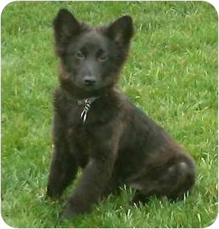Australian Shepherd/Chow Chow Mix Dog for adoption in Lincolnton, North Carolina - Fritz