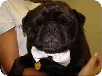 Pug Dog for adoption in Vandalia, Illinois - Pugsley
