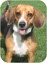 Beagle Mix Dog for adoption in Wheaton, Illinois - Tippy