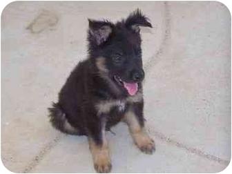 German Shepherd Dog Puppy for adoption in Joshua Tree, California - Hunter