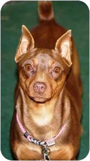 Miniature Pinscher Dog for adoption in Topeka, Kansas - Coco