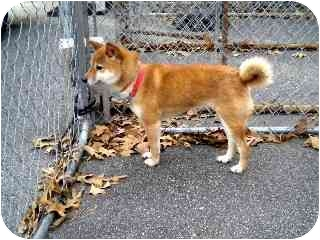 Shiba Inu Dog for adoption in Washington, North Carolina - Zira