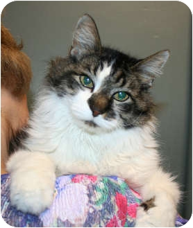 Domestic Mediumhair Cat for adoption in Shenandoah, Iowa - Sally