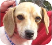 Beagle/Jack Russell Terrier Mix Dog for adoption in Newberry, South Carolina - Lacy