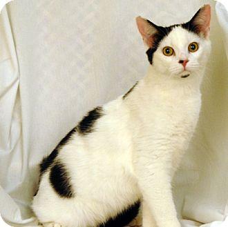 Domestic Shorthair Cat for adoption in Newland, North Carolina - Rogan