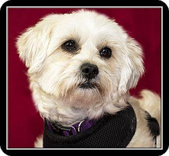 Lhasa Apso/Maltese Mix Dog for adoption in Covina, California - Mercedes