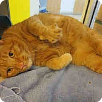Adopt A Pet :: Garfield (Big Marshmellow) - Arlington, VA