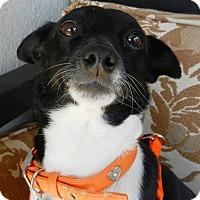 Adopt A Pet :: Olivia - Escondido, CA