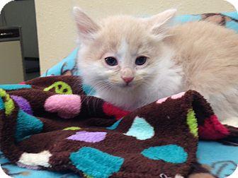 Domestic Longhair Kitten for adoption in Lacey, Washington - Wilbur