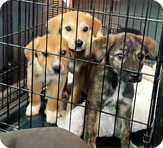 Collie/Spaniel (Unknown Type) Mix Puppy for adoption in Olive Branch, Mississippi - Nash Nettie & Nova