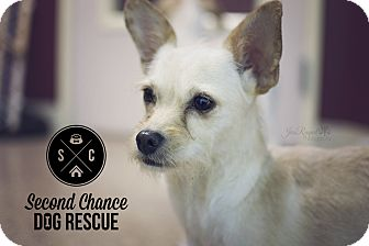 Terrier (Unknown Type, Small)/Chihuahua Mix Dog for adoption in Las Vegas, Nevada - Rita