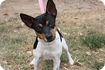 Rat Terrier Dog for adoption in Conway, Arkansas - Millie