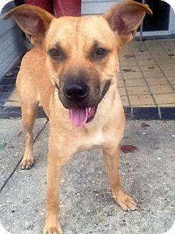 German Shepherd Dog/Labrador Retriever Mix Dog for adoption in Nashville, Tennessee - Cupcake
