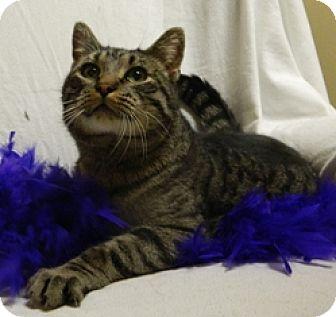 Domestic Shorthair Cat for adoption in Columbus, Nebraska - Victor