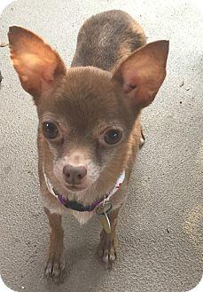 Chihuahua Mix Dog for adoption in San Antonio, Texas - Barbie