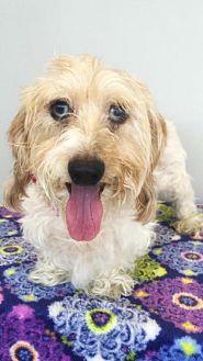 Dachshund Dog for adoption in Weston, Florida - Tally