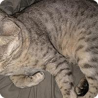 Adopt A Pet :: 2 Silver Tabbied Bengals - Dallas, TX