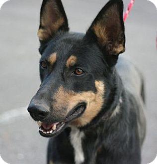 German Shepherd Dog Mix Dog for adoption in Canoga Park, California - Kobe