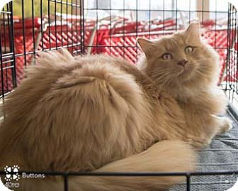 Domestic Longhair Cat for adoption in Merrifield, Virginia - Buttons