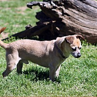 Pug/Chihuahua Mix Dog for adoption in Marion, North Carolina - Toby