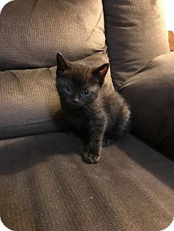 Domestic Shorthair Kitten for adoption in Media, Pennsylvania - Dee