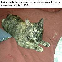 Domestic Shorthair Cat for adoption in Lexington, Missouri - Tori