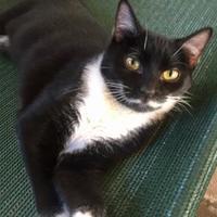Domestic Mediumhair/Domestic Shorthair Mix Cat for adoption in Bartlesville, Oklahoma - Jen