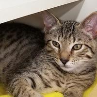 Adopt A Pet :: Bently - Richmond, VA