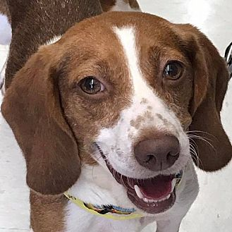 Beagle/Spaniel (Unknown Type) Mix Dog for adoption in Fairfax, Virginia - Bailee  *Adopt or Foster*