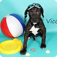 Adopt A Pet :: Vicco - Joliet, IL