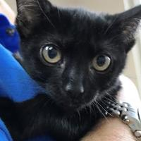 Domestic Shorthair/Domestic Shorthair Mix Cat for adoption in Miami, Florida - Winky