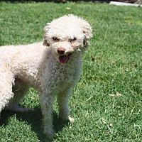 Adopt A Pet :: Polo - Henderson, NV