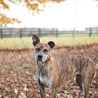 Adopt A Pet :: Dixie (COURTESY POST) - Louisville, KY