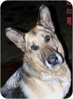 German Shepherd Dog Dog for adoption in Rolling Hills Estates, California - Sasha