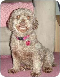 Miniature Poodle Dog for adoption in Troy, Michigan - Carmella