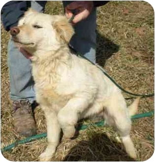 Golden Retriever Mix Puppy for adoption in Windham, New Hampshire - Fiona