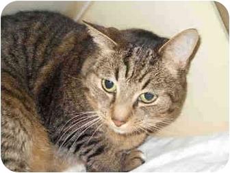 Domestic Shorthair Cat for adoption in San Clemente, California - KOBI