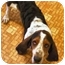 Photo 1 - Basset Hound Dog for adoption in Phoenix, Arizona - Fausto