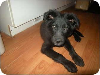Shepherd (Unknown Type)/Labrador Retriever Mix Puppy for adoption in Roslyn, Washington - Griz