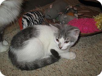 Turkish Van Kitten for adoption in Richland, Michigan - Lucy