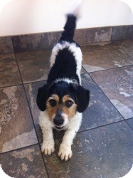 Terrier (Unknown Type, Small)/Beagle Mix Dog for adoption in Russellville, Kentucky - Benji