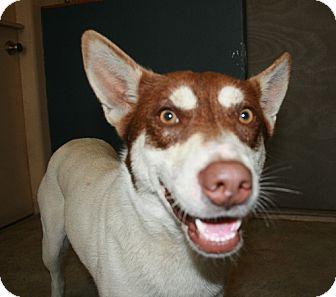 Husky Mix Dog for adoption in San Antonio, Texas - Nala