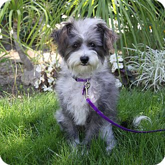 Poodle (Miniature)/Silky Terrier Mix Dog for adoption in Newport Beach, California - CHERISE