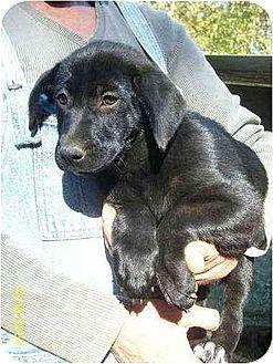 Labrador Retriever/Pointer Mix Puppy for adoption in Lincolndale, New York - PawLee