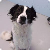 Adopt A Pet :: Loki - Muskegon, MI