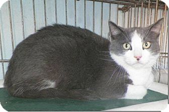Domestic Shorthair Cat for adoption in Sullivan, Missouri - Wilson