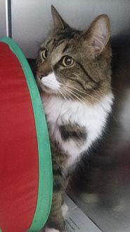 Domestic Mediumhair Cat for adoption in Winder, Georgia - Rocky