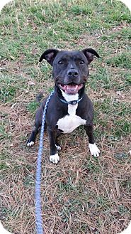American Pit Bull Terrier Mix Dog for adoption in South Park, Pennsylvania - Willow